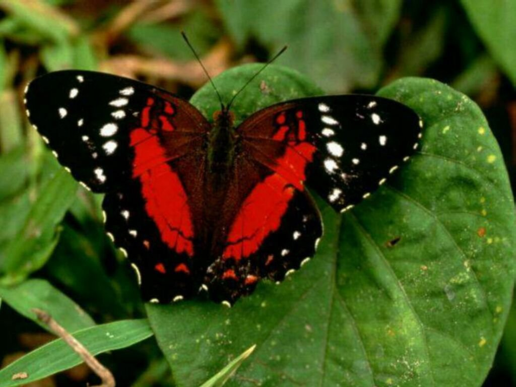 Butterfly wallpaper 5 for Miroir noir download