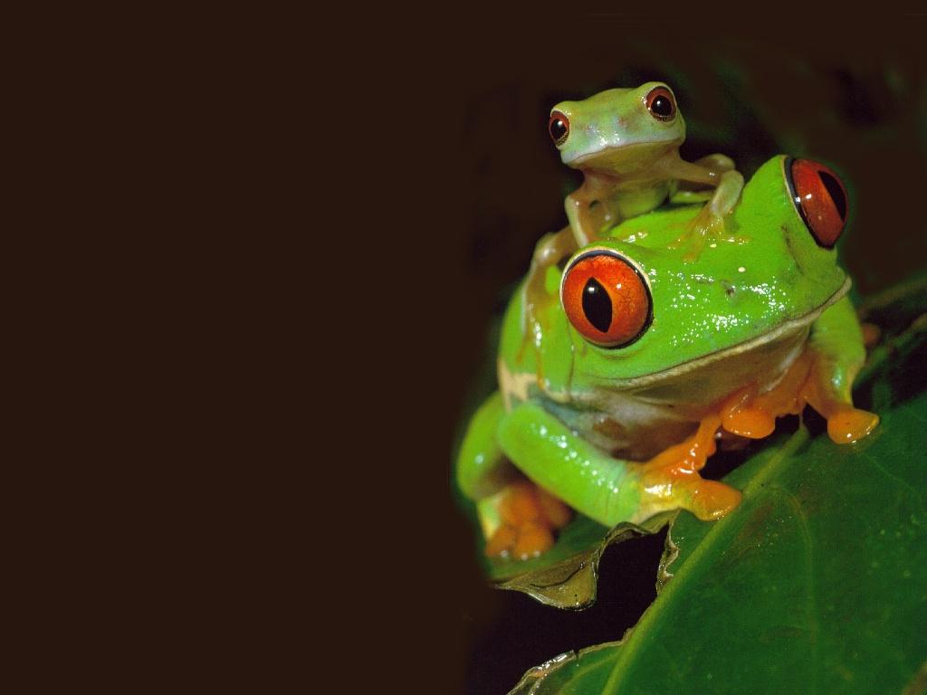 Frog Wallpaper 1 HD Wallpapers Download Free Images Wallpaper [1000image.com]