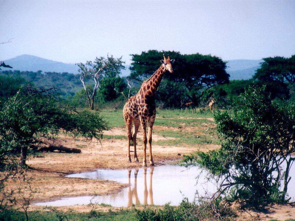 You are viewing the Giraffe wallpaper named Giraffe 1.