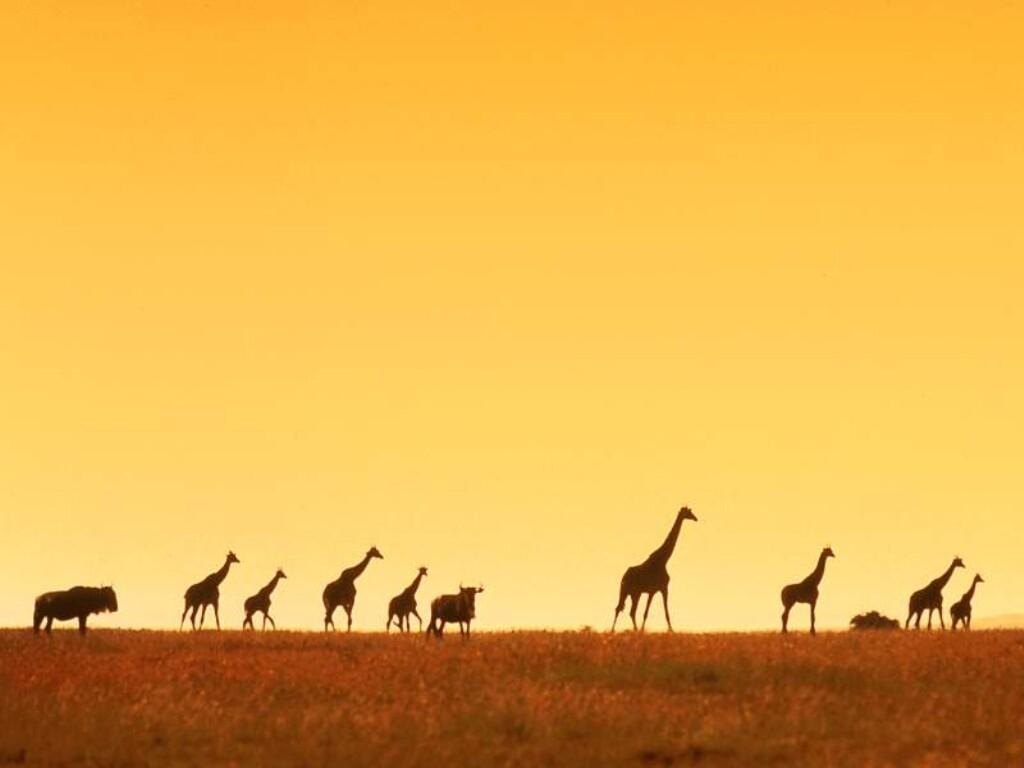 You are viewing the Giraffe wallpaper named Giraffe 4.