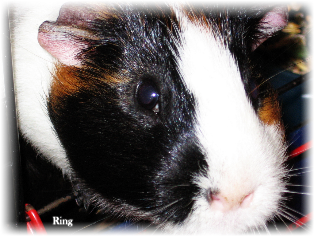 pics photos related pictures funny guinea pig wallpaper