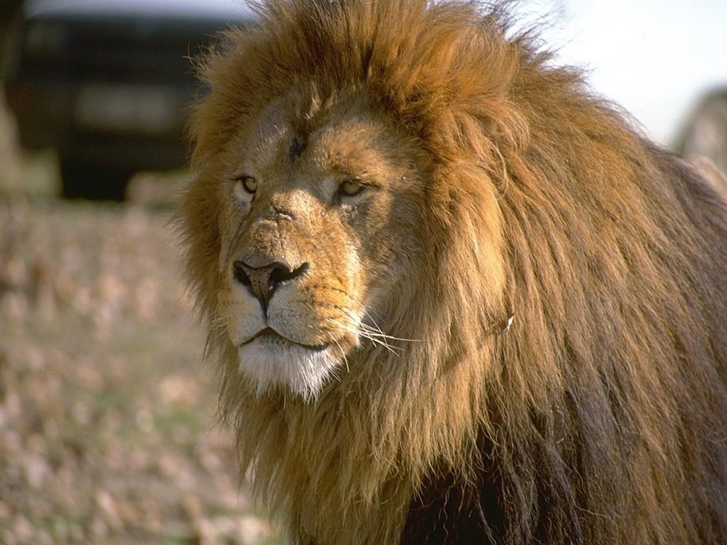Lion wallpaper named
