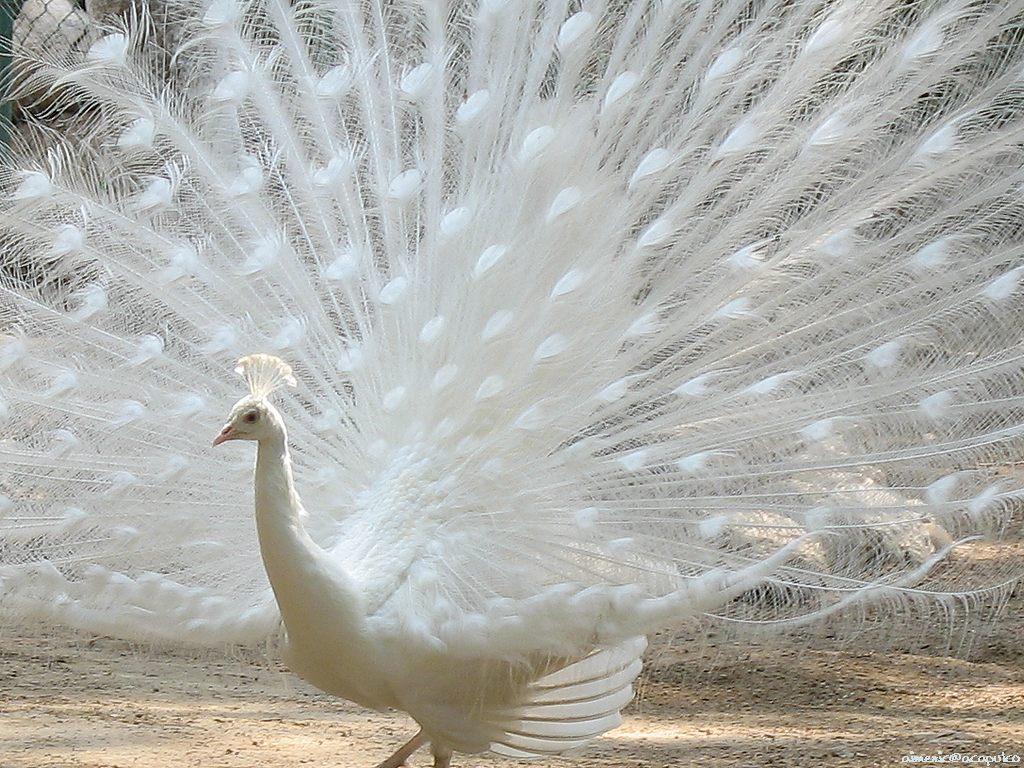 معلومات الطاووس*** peacock_1.jpg
