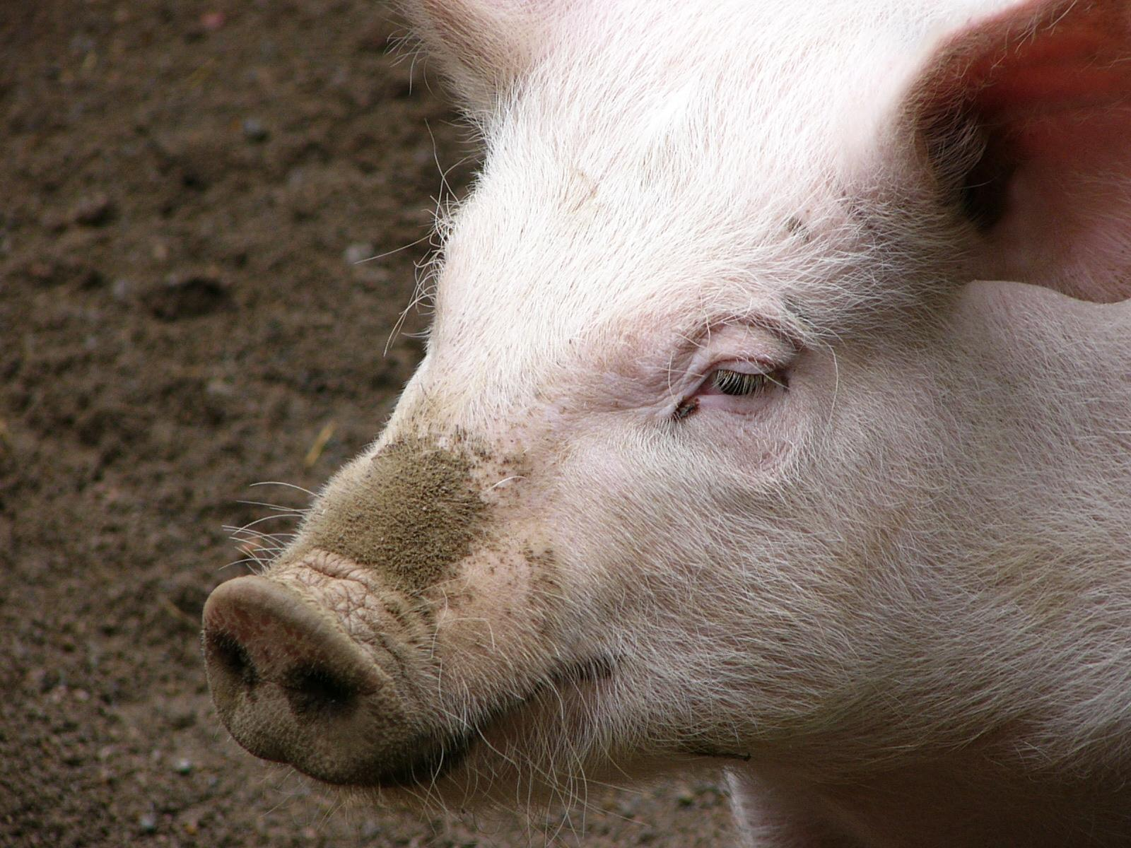 pig wallpaper 1
