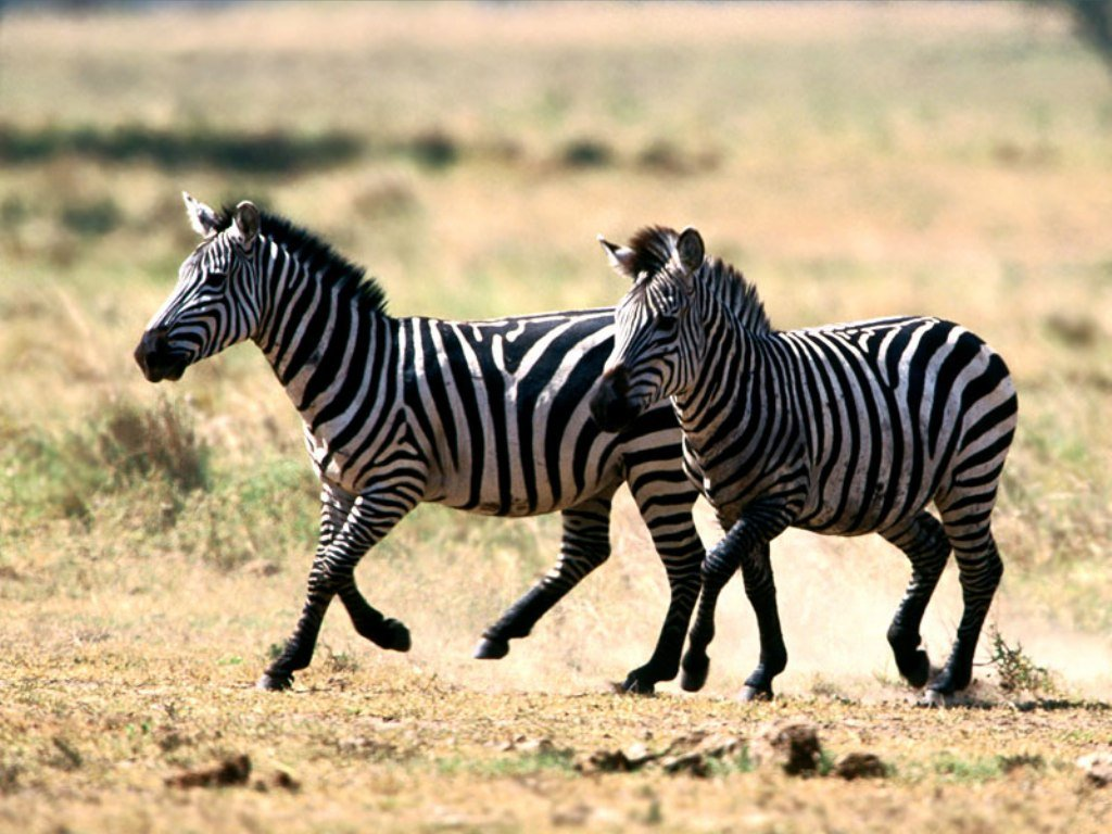 Zebra wallpaper named